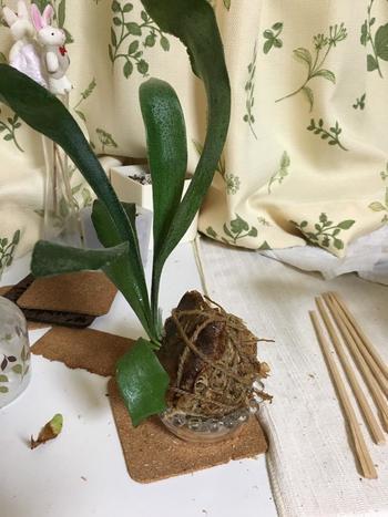 鉢や容器を使わない「苔玉」。  木の根を用土で丸く包み、苔を貼り付けたら、紐で固定。