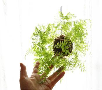 吊るされたシンプルな苔玉。  光に煌めく緑の色は、「苔」にしかない表情です。    「苔玉」作りは実に簡単。早速チャレンジしてみましょう。