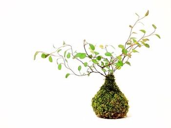 苔玉は真ん丸でなければいけないということはありません。 玉ねぎのようなコロンとした形が可愛い苔玉です。