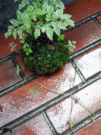 雨に濡れる苔の緑の美しさ。 ずっと眺めていたくなりますね。