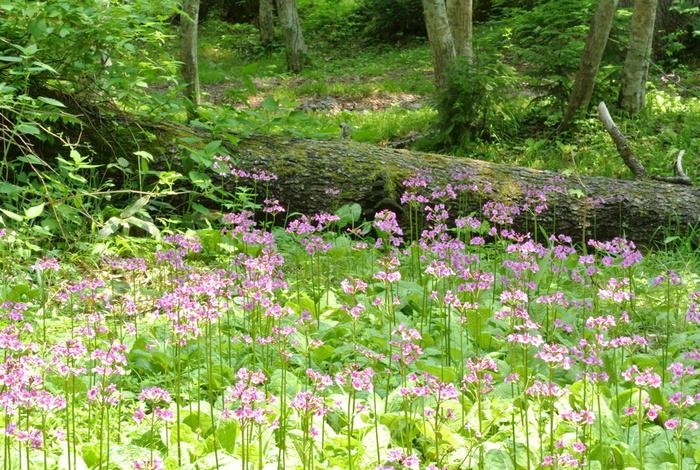 「ノンノ」はアイヌ語で「花」という意味。6月中旬〜7月初旬に咲くクリンソウが見事です。また、クマゲラやアカゲラを始めとした野鳥や、エゾシカ、キタキツネなどの野生動物も数多く生息しています。