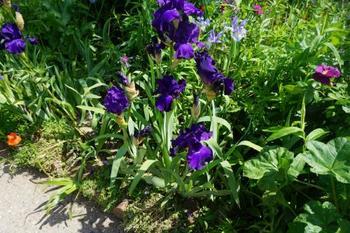 アイリスは日本のあやめやかきつばたなどと同じ系統の花。大ぶりのユニークな花の形と、凛として立ち上がる茎と葉が魅力的です。モネの庭では家の前の小道や池のそばで見ることができます。