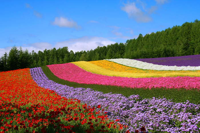 富良野の代表的な観光スポット「ファーム富田」。ラベンダー観光発祥の地と言われています。花畑は15ヘクタールもあり、色々な種類の花が咲き誇ります。花畑を巡ったり館内を見学したり、お食事、お土産を購入したりと飽きません。園内からは雄大な十勝岳連峰も眺める事ができます。
