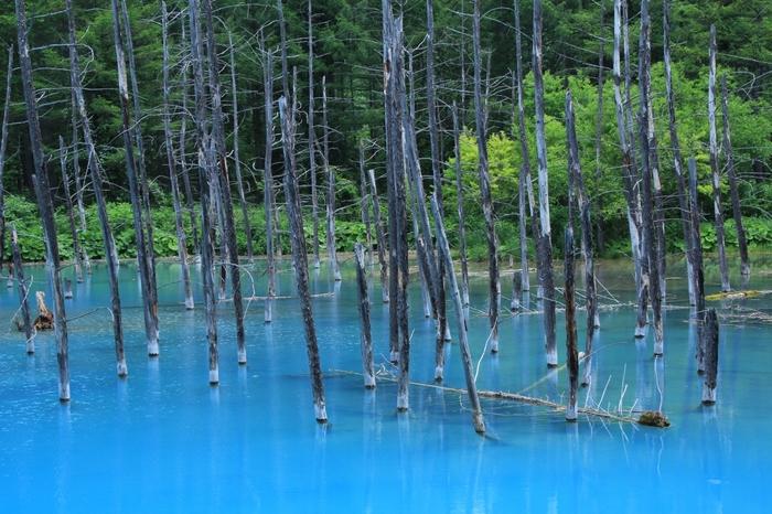 美瑛駅から20㎞ほど離れた場所に白金温泉という温泉郷があり、そこへ向かう途中に「青い池」があります。幻想的な景観の青い池は、雨が降ると濁ったり、また季節によっても色が違って見えます。