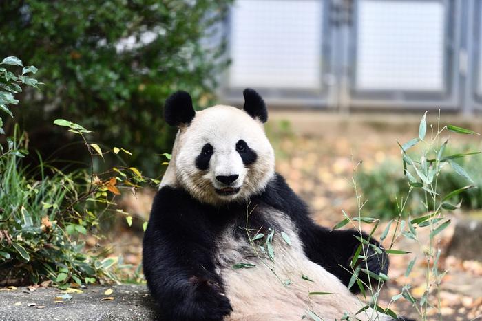 こんなに愛くるしい食事中のパンダを間近で見ることができるかも♪