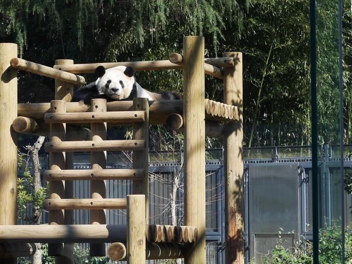 やっぱり上野動物園と言えばパンダですよね。大人気のジャイアントパンダ舎はガラス大きなガラス越しにのんびりくつろぐパンダを見ることができます。
