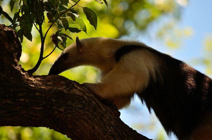 木の上で遊んでいるアリクイは愛嬌たっぷり。