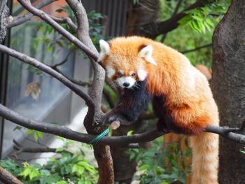 パンダも可愛いけどレッサーパンダの愛くるしい顔もたまりません♪