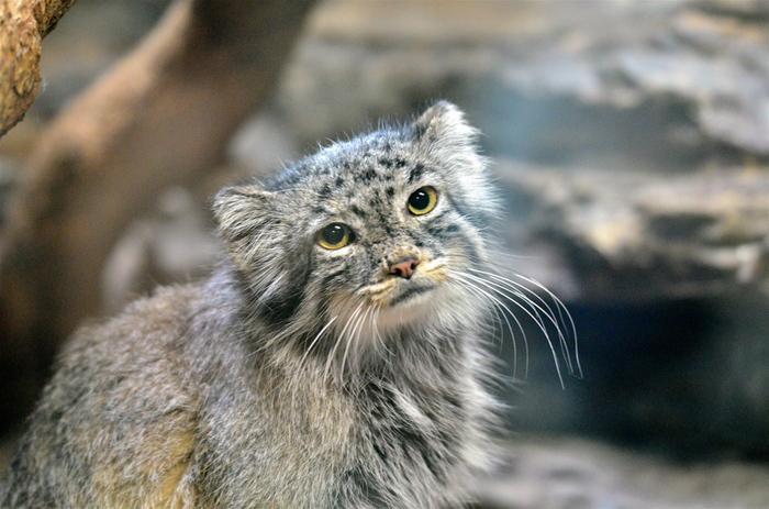 シベリア南部やモンゴルに生息しているこのヤマネコを目当てに訪れる人もいるとうくらい、ネコ好きの間で有名なマヌルネコは西園の小獣館にいるそうです。