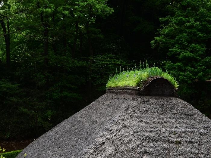 屋根の頂上を土の重さで押さえていて、その土が落ちないように草花が植えてある「芝棟(しばむね)」と呼ばれる武蔵国西部の農家の姿が特徴的です。