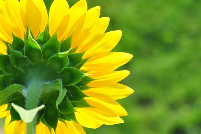 太陽に向かって真っすぐに伸びている姿を見ると、元気をもらえるような気がしますよね。フラワーセラピー的にもまさにその通り。身体の疲れを癒してパワーを与えてくれるのだそうです。