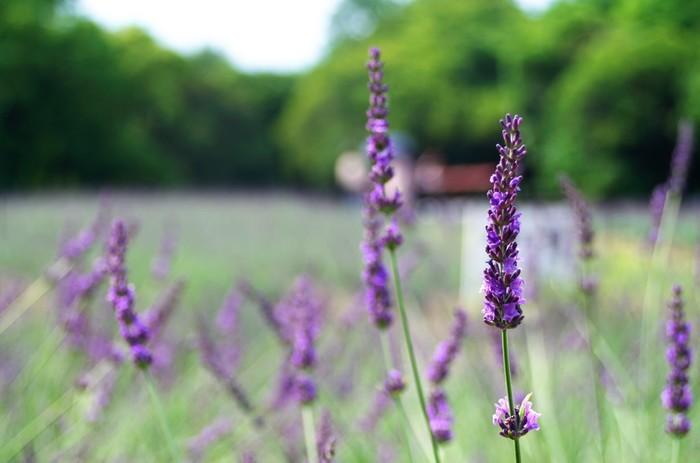 ハーブとしても優秀なラベンダーですが、香りだけでなくその見た目にも癒し効果があるとされています。確かにこの綺麗な薄紫色をみると不思議と心が落ち着いてきますよね。