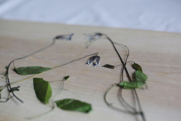お花を十分楽しんだら、右に左にクネクネと伸びたツルも一緒に押し花にしてみましょう。 図鑑や辞書などの重さのある本を開き、そこに新聞紙などの水分を吸ってくれる紙を敷いた上にクレマチスを並べて、本を閉じて1~2週間。クレマチスの美しさを永遠に閉じ込めて。