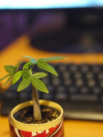もともとパキラの幹は、大樹に相応しく太くて、どっしりとしています。小さな鉢に植えられていても、その風格は変わりませんね。