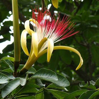 こちらは、パキラの花。花言葉は「快活・運を導く・勝利」。とても縁起のいい花なんですね。ただ、パキラの花はとても気難しくて、観葉植物になっているものからでは咲かないのが残念なところです。