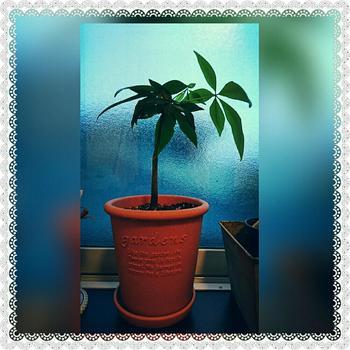 生育が早いので、そのままにしておくと、根づまりを起こし、水分が吸えなくなってしまいます。5~7月頃、鉢底から根が出るようになったら、少し大きめの鉢に植え替えをしましょう。古い土を1/3ほど落とし、根の黒い部分は切って新しい土に植え替えます。