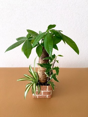 小ぶりなパキラは、他の観葉植物とともに寄せ植えするのもおすすめ。こちらは、パキラ、オリヅルラン、アイビーを、おしゃれなレンガ鉢に寄せ植え。デスクの上が明るくパワフルになりそうですね。