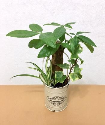 こちらは、パキラをブリキ缶に寄せ植え。雑貨感覚で、とても遊び心が感じられますね。パキラは丈夫なので、初心者でも気軽に始められます。