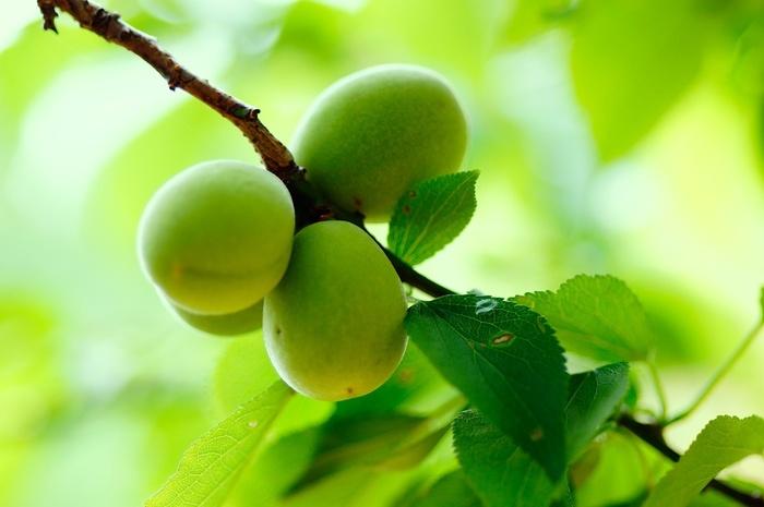 梅は栄養価が高く有機酸が多いことが特徴です。有機酸とは食品に含まれる酸味物質で、梅には疲労回復効果のあるクエン酸やリンゴ酸、コハク酸、酒石酸などが豊富に含まれています。