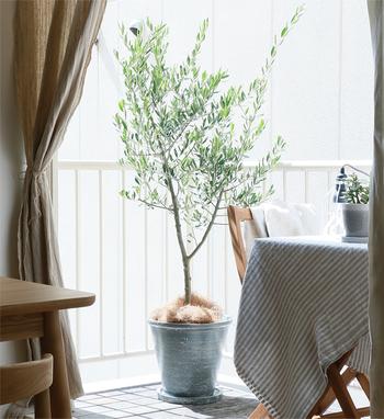 日当たりを特に好む植物なので、時々ベランダに出して風通しの良い場所で日光浴させてあげて。ベランダにテーブルを出して、一緒に日光浴しながらランチなんていかが?