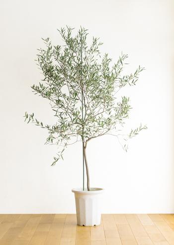 銀色のような濃い色の葉っぱや横に広がる樹形が特徴的なオリーブ。育てやすく果実も付くので、観葉植物として人気です。テラコッタや白い植木鉢に植えると、北欧やナチュラル系のインテリアにもピッタリです!