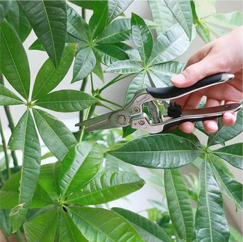 育てやすい植物と言われているだけに、ぐんぐん伸びて大きくなりすぎてしまうことも…。そんな時にはチョキチョキと剪定して、バランスを整えてあげてください。