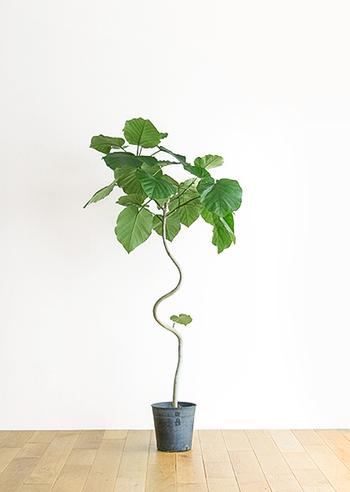 お部屋の観葉植物として、とても人気のあるフィカス・ウンベラータ。柔らかいハート形の葉と、曲線を描いた個性的な樹形が印象的です。どんなインテリアにも馴染んでくれる植物なので、お部屋の主役として空間を素敵に演出してくれますよ!