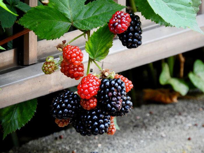 実が大きく、ジューシーで食べ応えのあるブラックベリー。その名前の通り、実が熟してくると赤色から黒っぽい色に変わっていきます。ビタミンCやアントシアニンといった成分がたっぷり含まれているので、おいしいだけでなく健康にもいい果実です。寒さや暑さに強く、丈夫で育てやすいのであまり手を掛けなくてもよく育ちます。