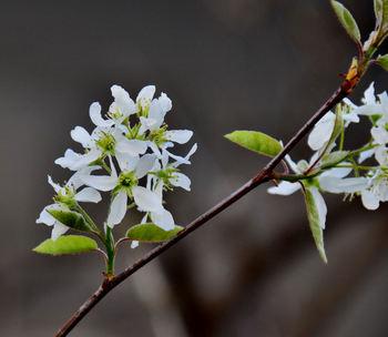 5月ごろになると、こんな美しい白い花を咲かせます。