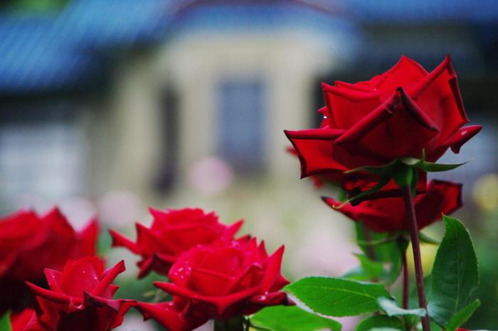 真っ赤な大輪の花が印象的な「情熱」という品種のバラです。本当に華やかですね♪