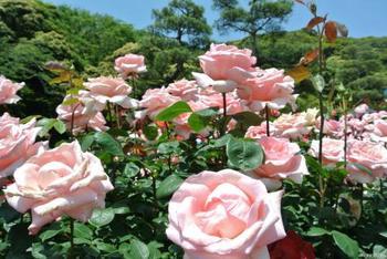 「フラミンゴ」という品種の可憐なバラです。薄いピンク色がフラミンゴそっくりですね。