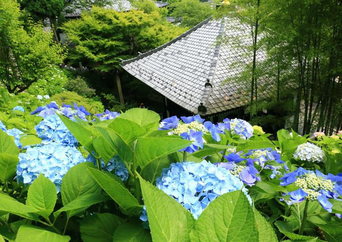 歴史ある建造物とともに四季折々の花々を楽しむことができる古都・鎌倉。梅雨時になるとあちこちであじさいが咲き乱れ、訪れる人たちの目を楽しませてくれます。ここでは、鎌倉で美しいあじさいを鑑賞できるおすすめスポットをご紹介します。