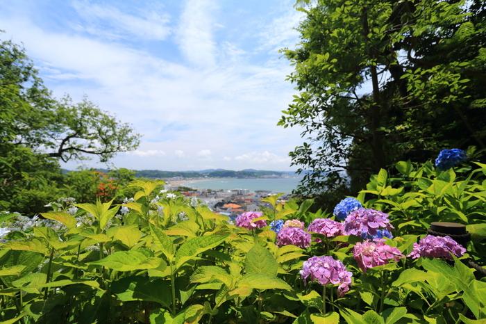 長谷寺の経蔵裏の「あじさい小径」には、2000株を超える色とりどりのあじさいが植えられていて、朝早くから行列ができるほど大人気です。散策路からは由比ヶ浜の海を一望できます。