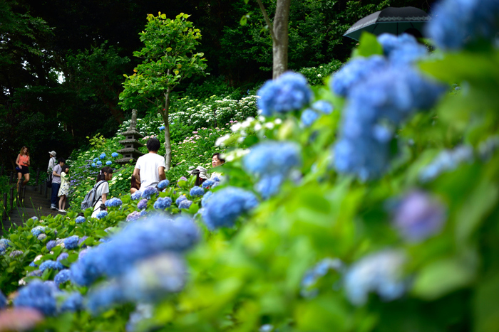 長谷寺は江ノ電の長谷駅から徒歩5分の場所にあり、回遊式の庭園を持つ四季折々の花を楽しめる人気の寺院です。鎌倉の「あじさいの三大名所」のひとつです。