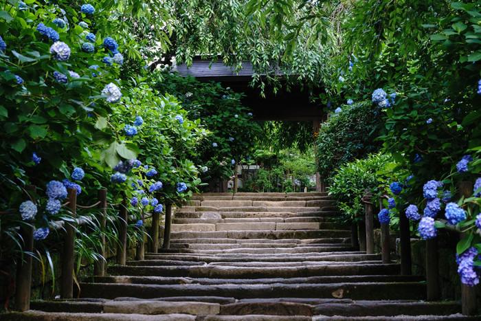 明月院の境内には,約2000株ものあじさいが咲き乱れ,訪れる人々の目を楽しませてくれます。明月院では,青や水色で統一されたブルー系統のあじさいを楽しむことができます。