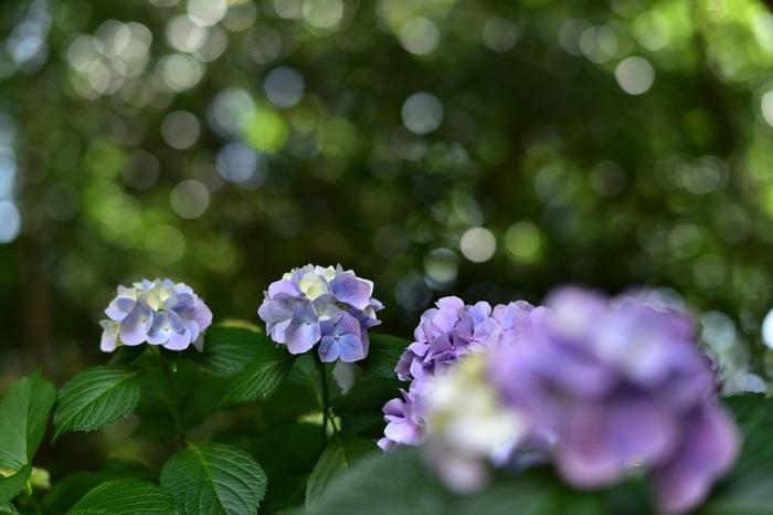 境内にはあちらこちらにあじさいが咲いています。あじさいと同時期にカイドウやノウゼンカズラといった花たちも楽しむことができます。