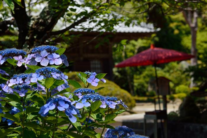 海蔵寺は神奈川県鎌倉市扇ガ谷にある臨済宗建長寺派の禅寺です。境内はとても静かで、四季の花々をじっくりと楽しめる美しい花の寺です。