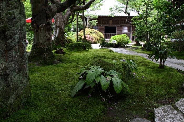 海蔵寺へは鎌倉駅西口から小町通りを通って徒歩約20分です。観光客でごった返すにぎやかな場所からは離れているので、静かな環境であじさいを鑑賞できます。