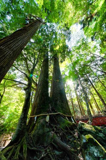 """2本の杉が寄り添う姿が印象的な「相生(あいおい)の杉」。樹齢千年の御神木です。 「相生(あいおい)」には「相老(あいおい)」つまり""""共に長生きする""""という意味もあり、「夫婦円満」の象徴なのだそう。"""