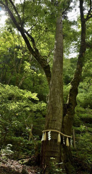 違う種類の木が重なり、1つになっているようすが、男女が仲睦まじい様子と似ていますね。 貴船神社の「連理の杉」は、杉と楓の木が重なり合っており、とても珍しいものだそうです。