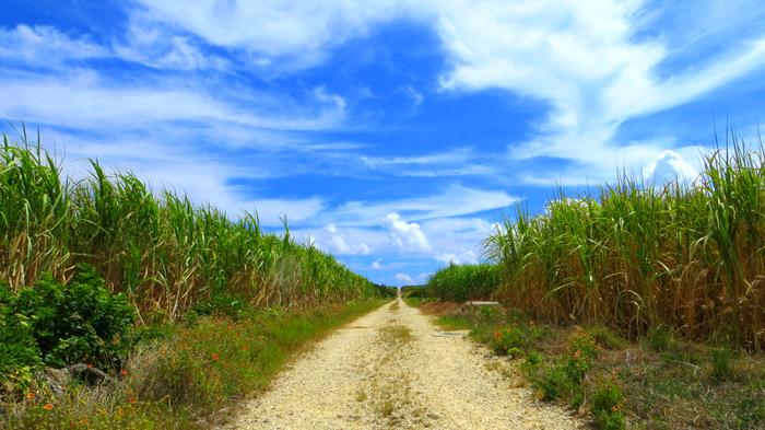 島内に広がる見渡す限りのサトウキビ畑は、どこか昔懐かしい、郷愁を誘う光景。