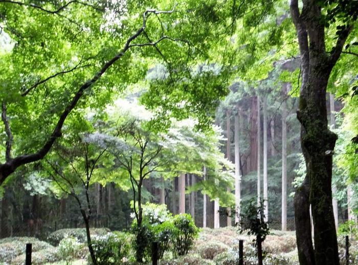 【明恵は、栄西禅師から贈られた茶の実を山内に植え育て、茶の普及の発展に貢献したことでも良く知られています。画像は、木立の中にある高台寺の茶園。現在でも例年5月になると、茶摘みが行われています。栄西は、日本に初めて茶種と喫茶法を伝え、日本最古の茶書『喫茶養生記』を著した人物としても知られる名僧です。】