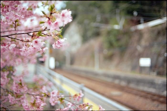 伊那小沢駅周辺は、寒桜の名所としても知られています。冬は雪にすっぽりと包まれる長野県ですが、伊那小沢駅は、逸早く春の訪れを告げてくれます。