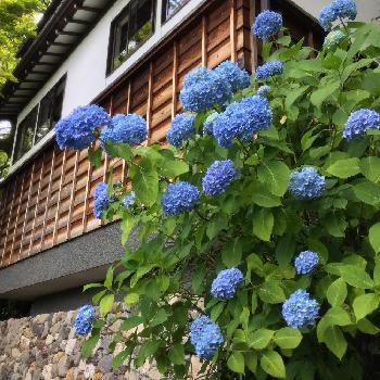 6月中旬から7月上旬まで楽しめるアジサイ。青や紫、ピンクや白と私たちの心をくすぐる色合いもとっても素敵なお花ですよね。