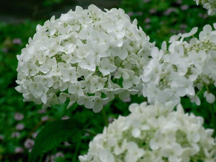 様々な種類のアジサイがありますが、中でもおすすめの品種は、白が美しい「アナベル」です。