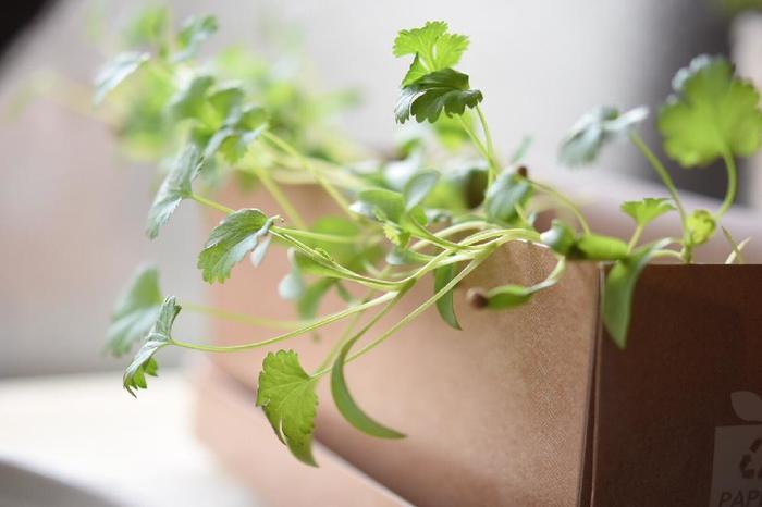 今ブームの香草といえばパクチー(コリアンダー)。栽培キットを使えばキッチンでも気軽に育てられます。自分で育てれば「爆盛りパクチー」も思いのままですね♪