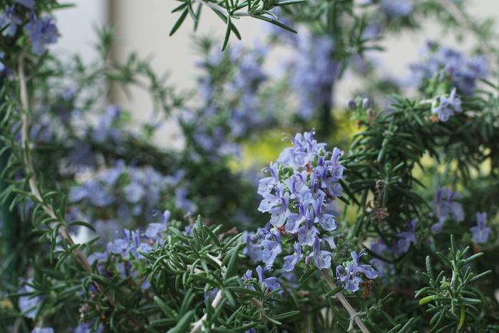 心地よい香りと愛らしい花が愛されるローズマリー。こちらも育てやすいハーブです。「蚊除けハーブ」の異名があるので、玄関や窓辺など、住まいの開口部に鉢を置いておくと効果がありそう。