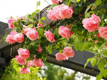 愛情や情熱を表し、とても華やかな印象のあるバラの花。「洋」のイメージが強いですが、最近では浴衣のモチーフとしても注目を集めています。