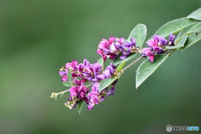 小さな花をたくさん付ける可憐な萩は、秋の七草のひとつです。桔梗と並んで秋草模様の代表的な柄となりますが、季節を先取りし、7月~8月に着ても問題ありません。