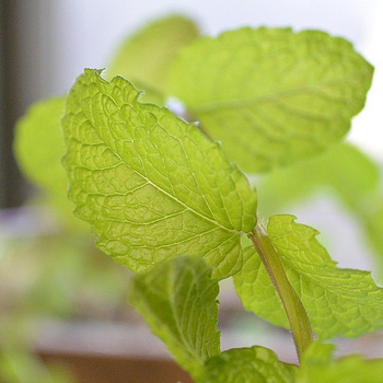 スペアミントは、優しいフレッシュな香りが特徴です。お料理やドリンクに広く使われるハーブです。
